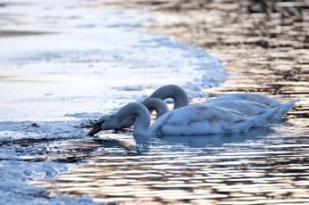 Mute Swans first hatch year Gloucester Massachusetts -2 copyright Kim Smith
