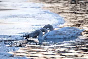 Mute Swans first hatch year Gloucester Massachusetts -2 copyright Kim Smith