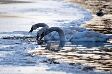 Mute Swans first hatch year Gloucester Massachusetts -3 copyright Kim Smith