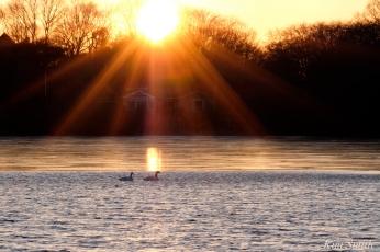 Mute Swans Gloucester Massachusetts -1 copyright Kim Smith