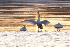 Mute Swans Gloucester Massachusetts -3 copyright Kim Smith