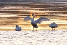 Mute Swans Gloucester Massachusetts -4 copyright Kim Smith