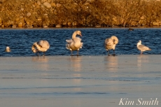 Mute Swans Preening Gloucester Massachusetts -2 copyright Kim Smith