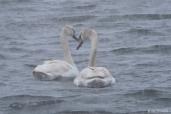 Mute Swans Snowy Day Gloucester MA copyright Kim Smith