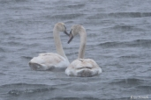 Mute Swans Snowy Day Gloucester MA copyright Kim Smith