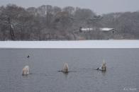 Mute Swans Snowy Day Gloucester Massachusetts -1 copyright Kim Smith