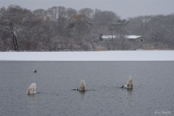 Mute Swans Snowy Day Gloucester Massachusetts -1 copyright Kim Smith