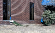 one of four peacocks_office park north of Boston Massachusetts_ don't see that every day ©catherine ryan (3)