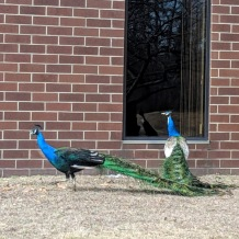 one of four peacocks_office park north of Boston Massachusetts_ don't see that every day ©catherine ryan (4)