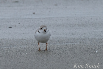 Piping Plover Female Front View copyright Kim Smith