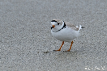 Piping Plover Male Front View copyright Kim Smith
