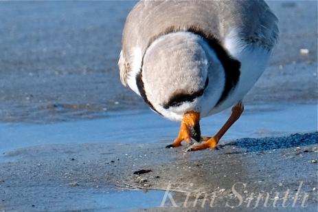 Piping Plovers Good Harbor Beach Gloucester Massachusetts copyright Kim Smith - 0