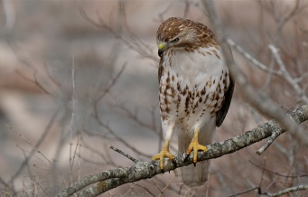 Red-tailed Hawk juvenile one year old copyright Kim Smith