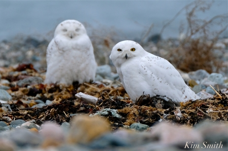 Snowy Owl Two Male Bubo scandiacus -3 copyright Kim Smith