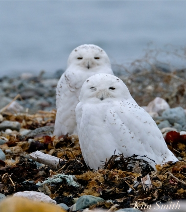 Snowy Owl Two Male Bubo scandiacus -7 copyright Kim Smith