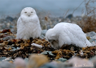 Snowy Owl Two Male Bubo scandiacus copyright Kim Smith