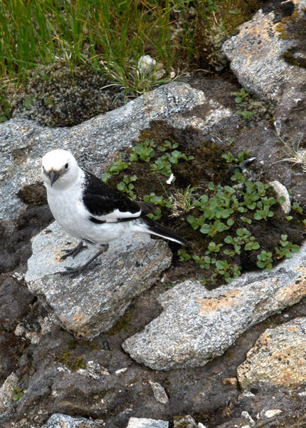 430px-Snow_bunting_-_geograph.org.uk_-_213456