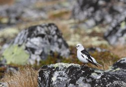 800px-Snow_bunting_(Plectrophenax_nivalis)