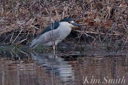 Black-crowned Night Heron copyright Kim Smith