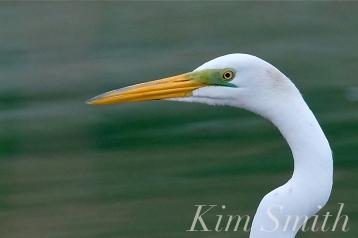 Great Egret Bass Rocks Gloucester copyright Kim Smith