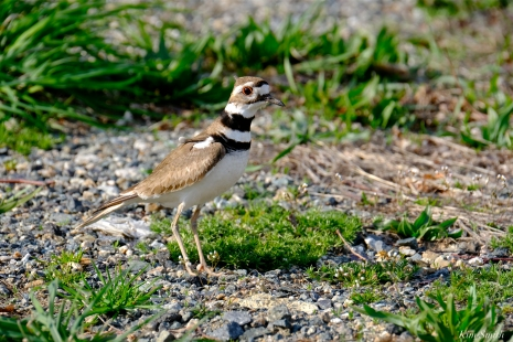 Killdeer Stage Fort Park Gloucester MA copyright Kim Smith