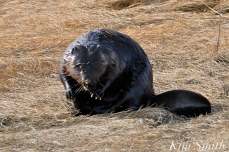 North American Beaver Salt Marsh Massachusetts copyright Kim Smith - 04