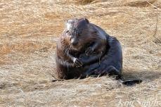 North American Beaver Salt Marsh Massachusetts copyright Kim Smith - 07