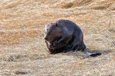 North American Beaver Salt Marsh Massachusetts copyright Kim Smith - 09