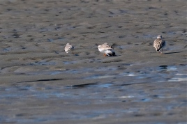 Piping Plover Battle -2 copyright Kim Smith