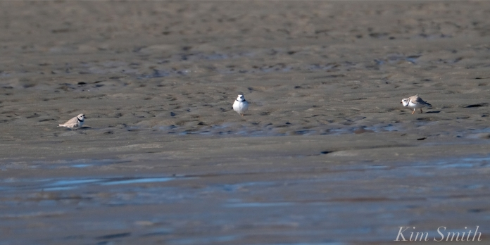 Piping Plover Battle -3 copyright Kim Smith