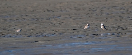 Piping Plover Battle copyright Kim Smith