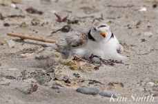Piping Plover Chick and Female Windy Storm -2 copyright Kim Smith