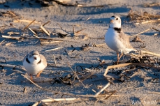 Piping Plover Courtship Good Harbor Beach copyright Kim Smith - 07