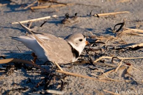 Piping Plover Courtship Good Harbor Beach copyright Kim Smith - 09