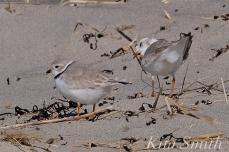 Piping Plover Courtship Good Harbor Beach copyright Kim Smith - 14