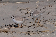 Piping Plover Courtship Good Harbor Beach copyright Kim Smith - 15