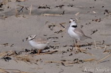 Piping Plover Courtship Good Harbor Beach copyright Kim Smith - 16