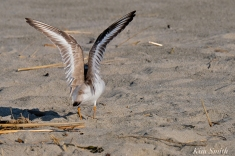 Piping Plover feathers copyright Kim Smith