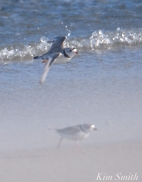 Piping Plover Mated Pair Stormy Weather Good Harbor Gloucester -2 copyright Kim Smith