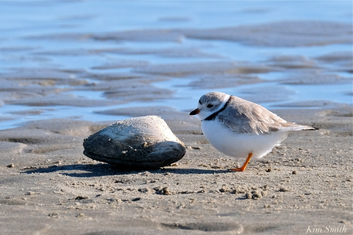 PLOVERS NESTING IN THE PARKING LOTS AT STAGE FORT PARK, O'MALEY, AND