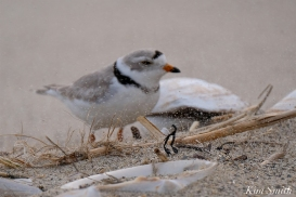 Piping Plover Windy Weather -2 copyright Kim Smith