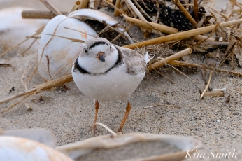 Piping Plover Windy Weather copyright Kim Smith