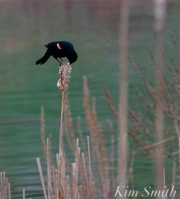 Red-winged Blackbird Cattails copyright Kim Smith