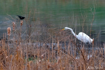 Red-winged Blackbird Great Egret Cattails -2 copyright Kim Smith