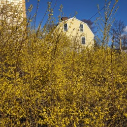 suddenly forsythia_20190416_© c ryan