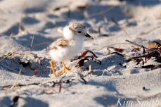 5-piping-plover-five-days-old-ghb-copyright-kim-smith