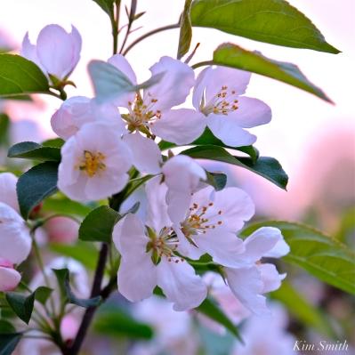 Apple Blossom Sunrise -3 copyright Kim Smith