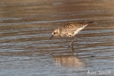 Black-bellied Plover GHB Gloucester MA copyright Kim Smith - 01