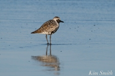 Black-bellied Plover GHB Gloucester MA copyright Kim Smith - 02