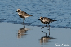 Black-bellied Plover GHB Gloucester MA copyright Kim Smith - 06
